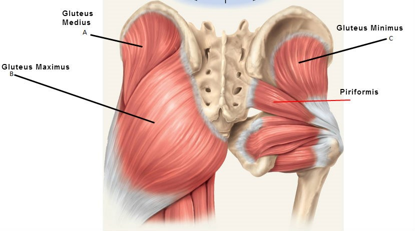 gluteals-and-piriformis.jpg