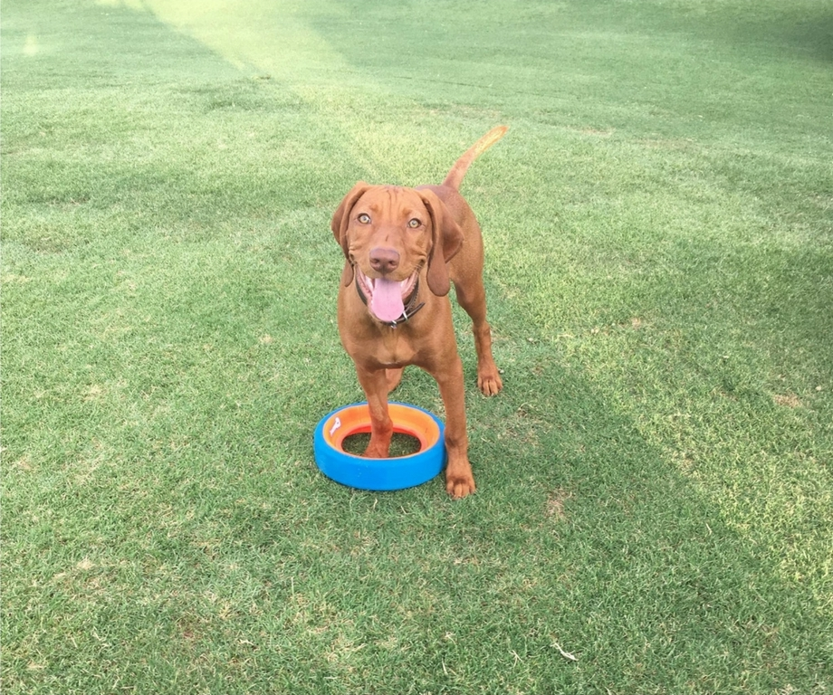 Meet Rhett, Our Course Dog Bringing you Course Conditions & Updates!