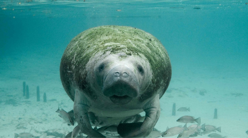 International Manatee Conservation Day!